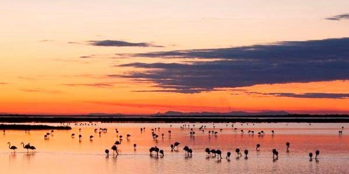 Wild flamingoes in the Camargue