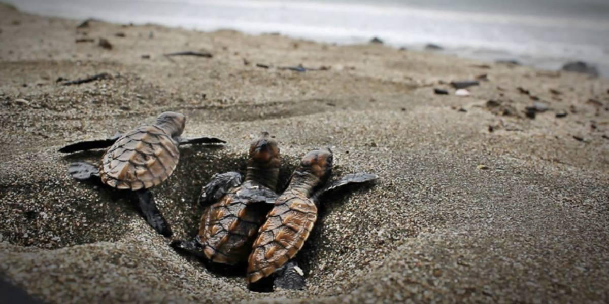 Baby turtles in Cape Verde.