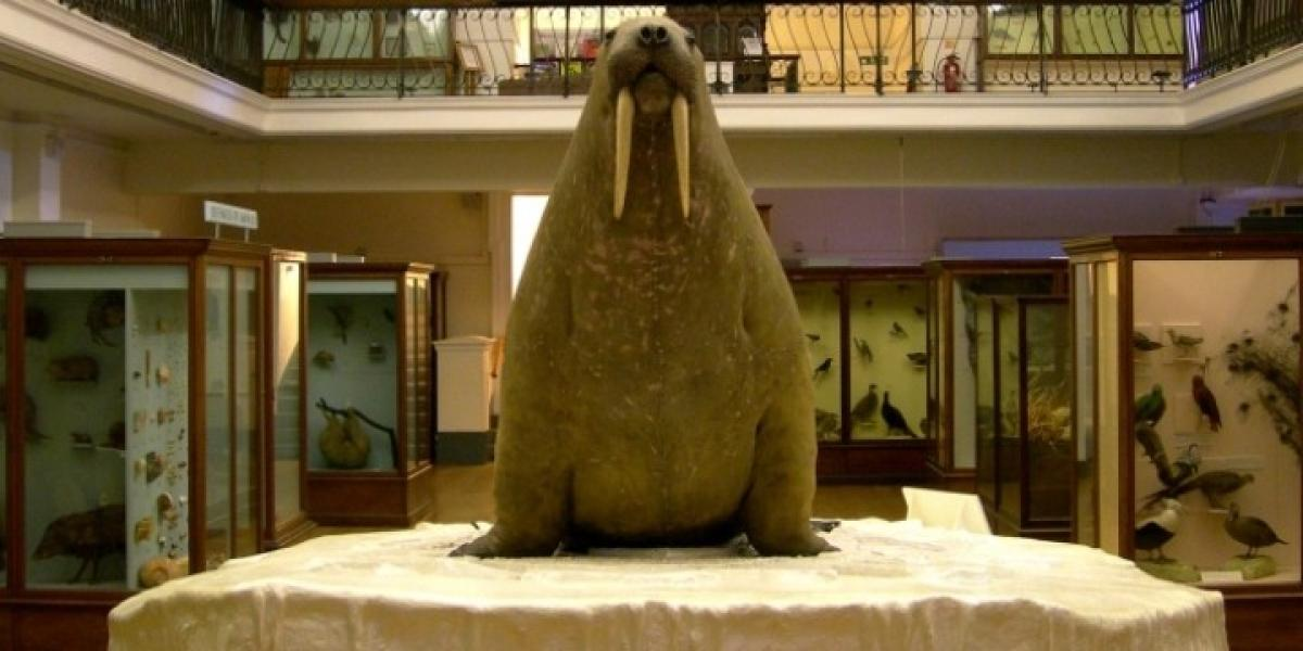 The famous walrus at London's Horniman Museum.