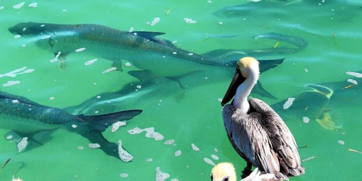 Tarpon fish watched by a pelican at Robbie's.