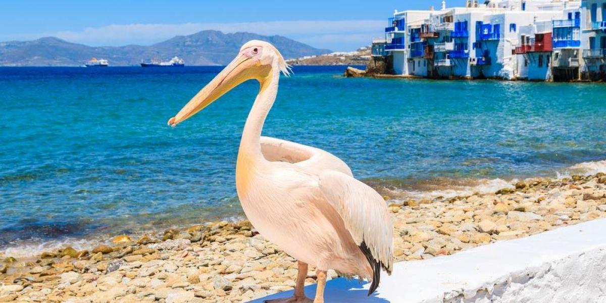 A regal pelican by the sea shore