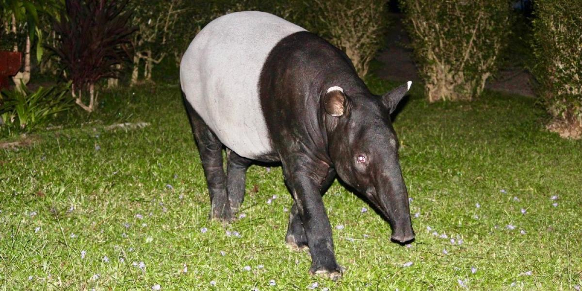 A tapir spotted on a jungle night-walk at at Mutiara Taman Negara Resort.