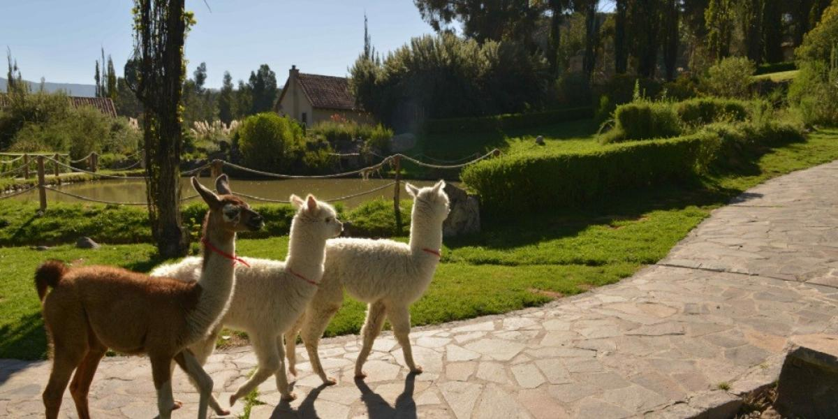 Alpacas at Belmond Las Casitas.