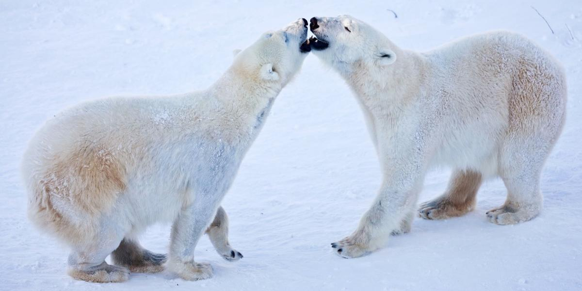 Polar bears in Ranua Wildlife Park, Lapland