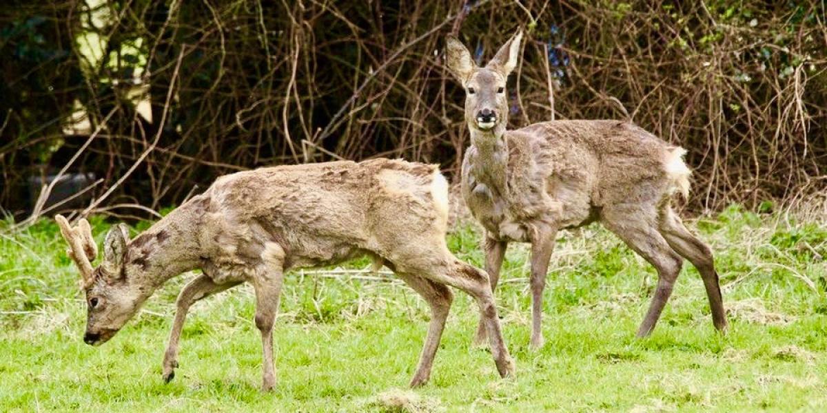 Roe deer in Galloway.