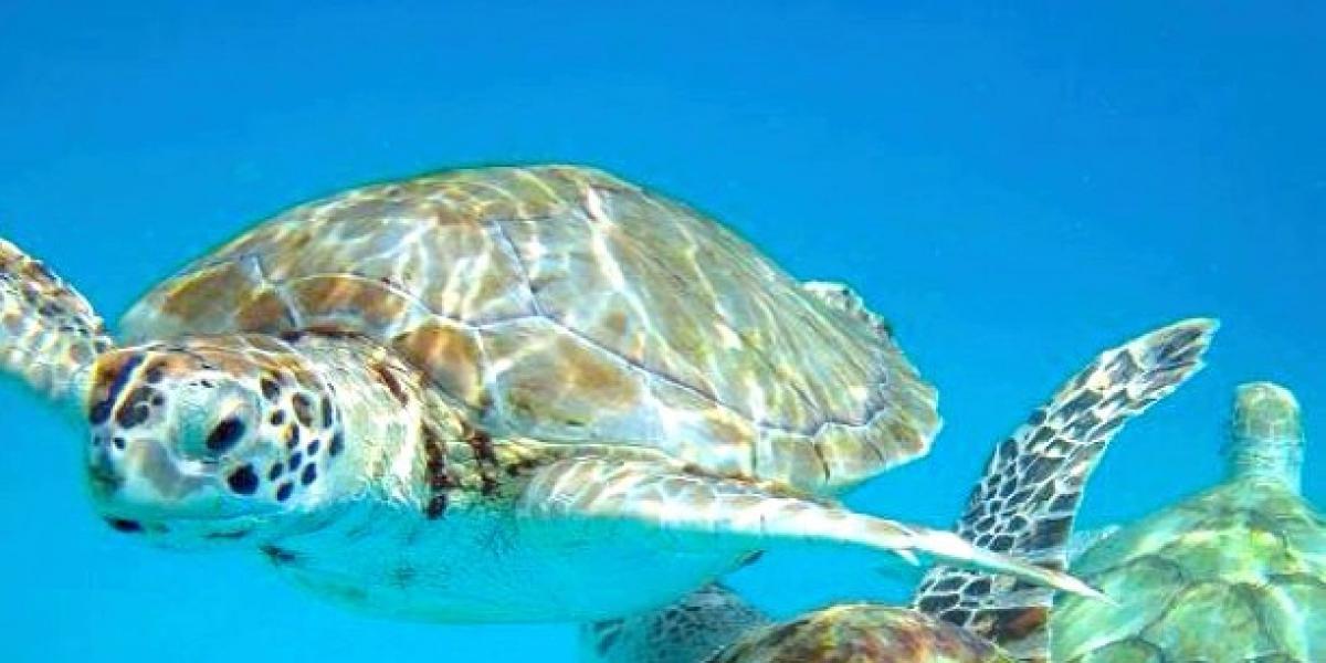 Sea turtles in Carlisle Bay, Barbados