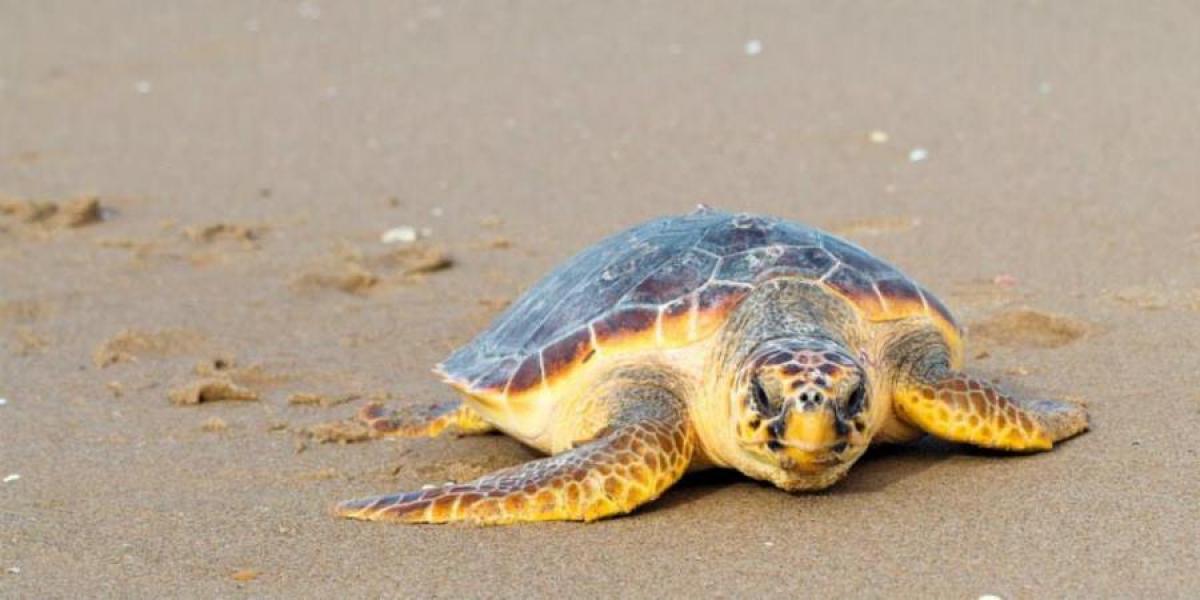 Turtle on Iztuzu Beach.